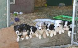 Australian Shepherd Dog Stud Services